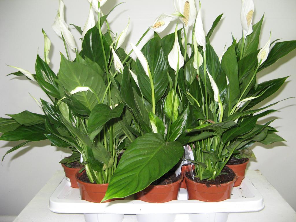 Растение спатифиллум: любит тепло, ненавидит сквозняки