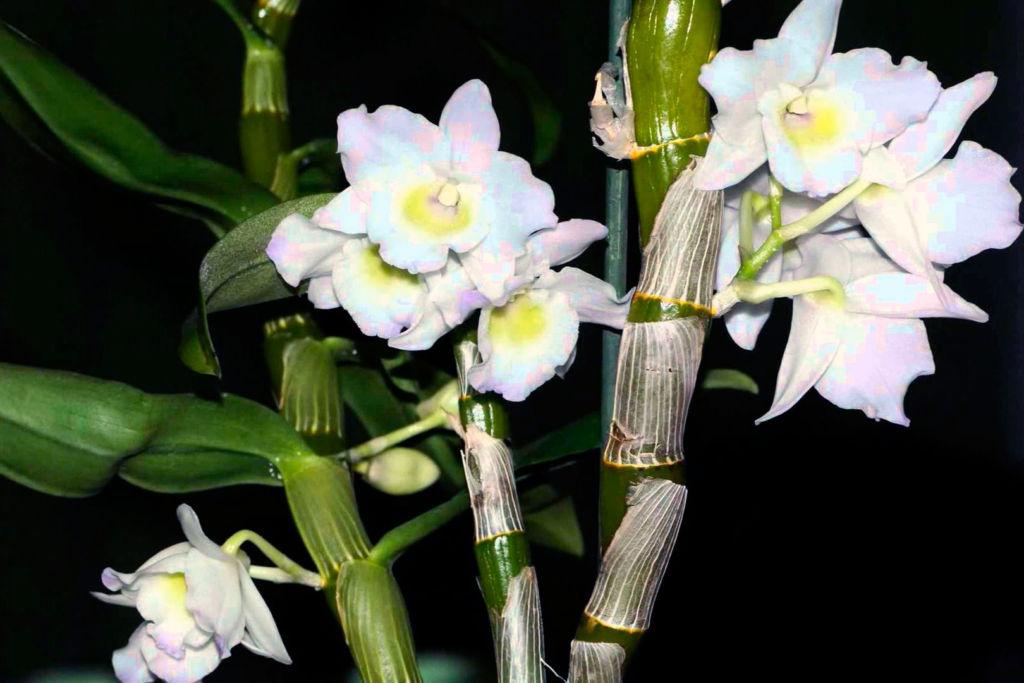 Орхидея Фаленопсис успешно развивается и цветет в ванной с искусственным освещением